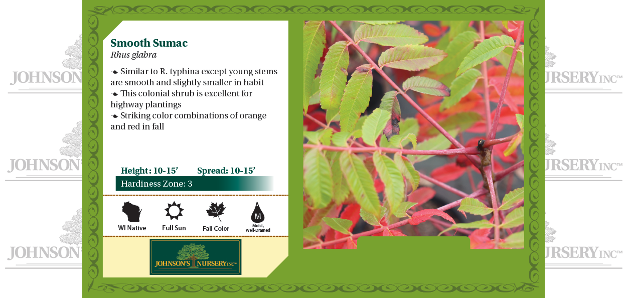 smooth sumac rhus glabra wisconsin native sumac shrubs johnson's nursery benchcard
