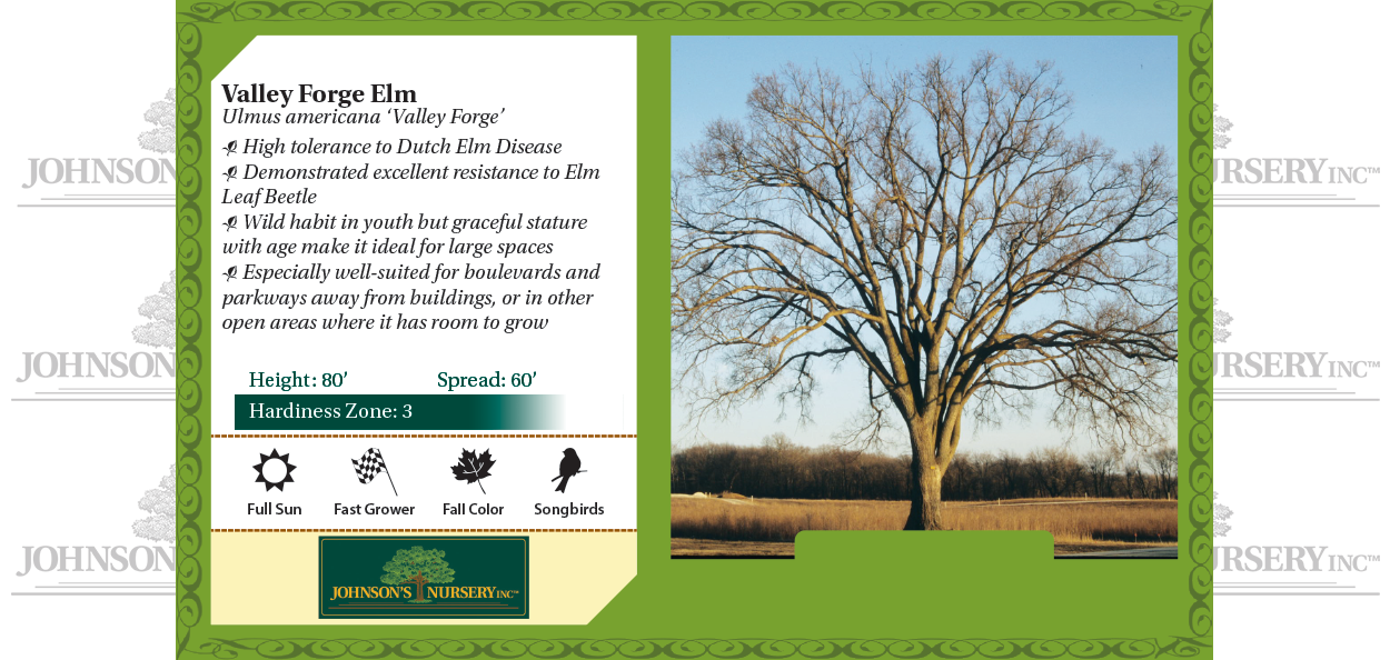 Valley Forge Elm Ulmus americana 'Valley Forge' benchcard