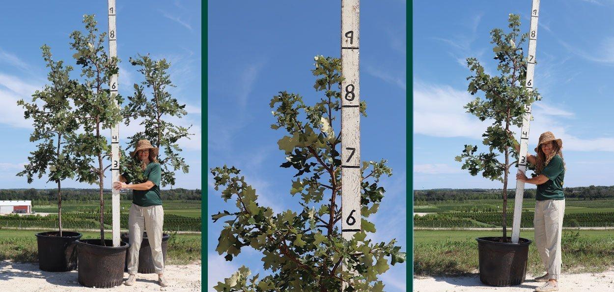 bur oak quercus macrocarpa #25 container wisconsin native trees at johnson's nursery