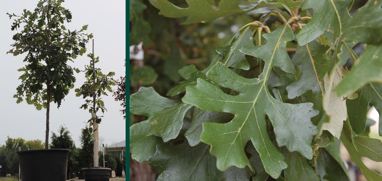 bur oak quercus macrocarpa burr shade tree oaks wisconsin johnson's nursery leaf container