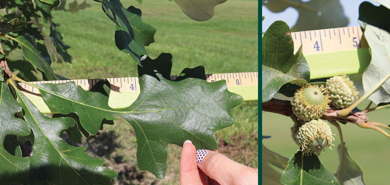 measuring the leaf and acorn size on a #25 container bur oak tree at johnson's nursery