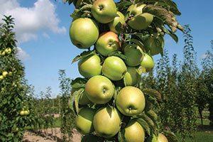 blushing delight urban apple tree columnar malus domestica ueb 3727 catalog