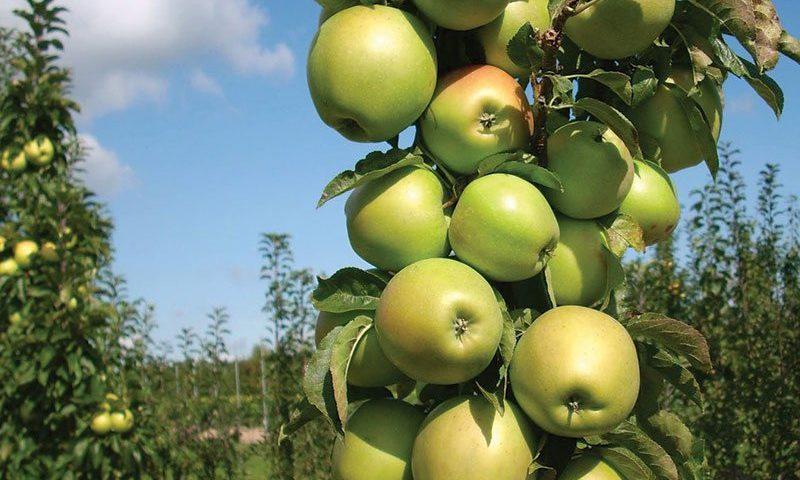blushing delight urban apple tree columnar malus domestica ueb 3727 ftimg