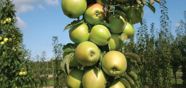 blushing delight urban apple tree columnar malus domestica ueb 3727 milwaukee waukesha wisconsin