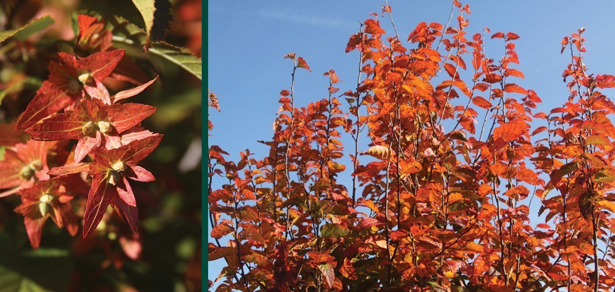 fall color seeds catkins on fire king musclewood carpinus caroliniana at johnson's nursery