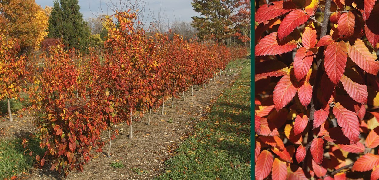fire king musclewood carpinus caroliniana in the trial blocks at johnson's nursery fall color