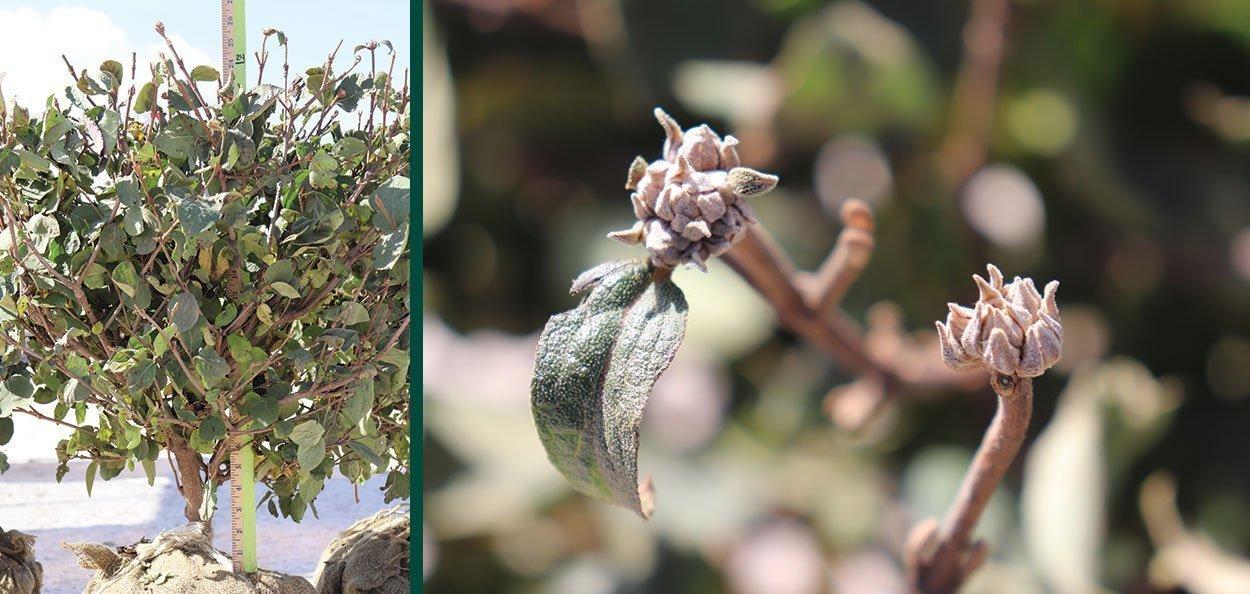 spice island koreanspice viburnum carlesii at johnson's nursery 24 inch b&b fall harvest and buds