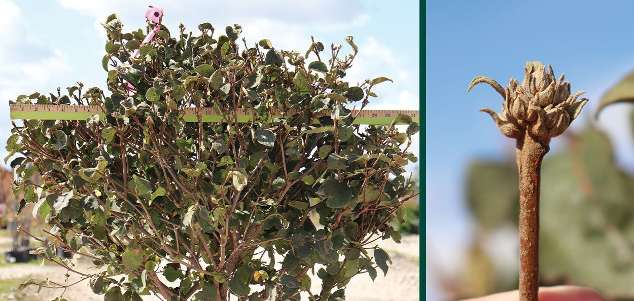 spice island koreanspice viburnum carlesii at johnson's nursery 30 inch b&b fall harvest and buds