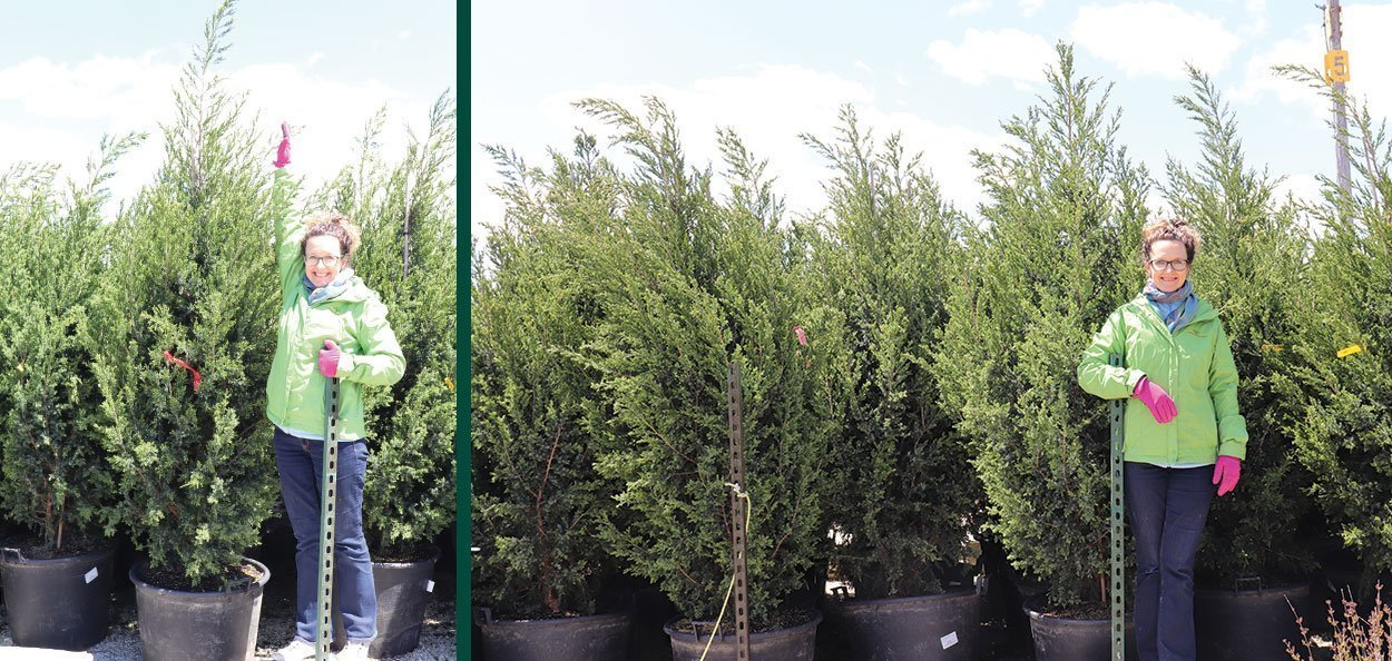 star power juniper juniperus jn select blue #25 containers in the nursery for sale
