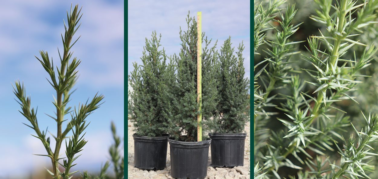 star power juniper juniperus jn select blue #3 containers for sale at johnson's nursery