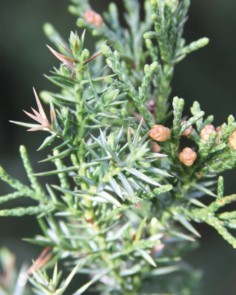 star power juniper juniperus jn select blue johnson's nursery deer proof prickly evergreen ftimg