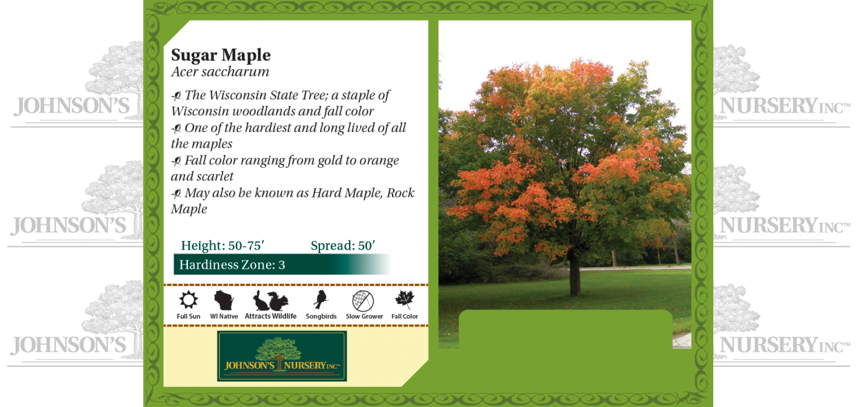 sugar maple acer saccharum hard maple rock maple sap syrup benchcard