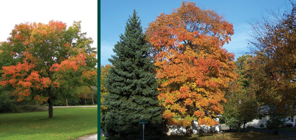 sugar maple acer saccharum hard maple rock maple sap syrup menomonee falls
