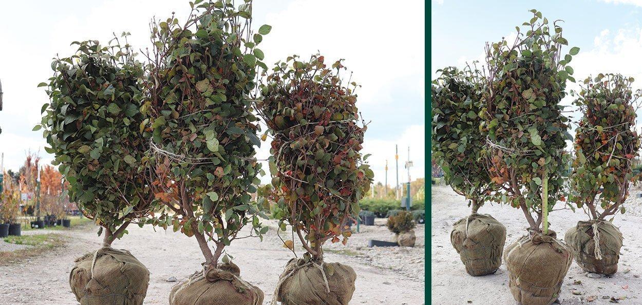 sugar n spice koreanspice viburnum carlesii find at johnson's nursery 30 inch b&b fall harvest