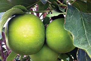 tangy green urban columnar apple malus domestica ak 98 catalog