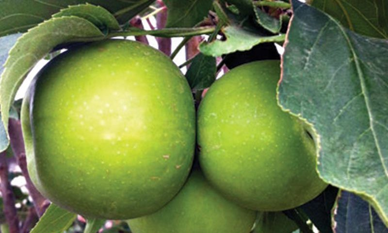 tangy green urban columnar apple malus domestica ak 98 ftimg