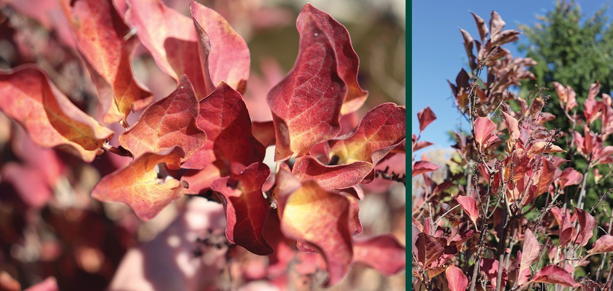 violet uprising lilac syringa patula in red purple fall color