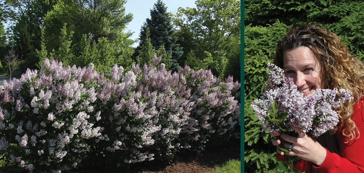violet uprising lilac syringa patula jn upright select johnson's nursery purple flower lilacs in wisconsin vanessa mueller