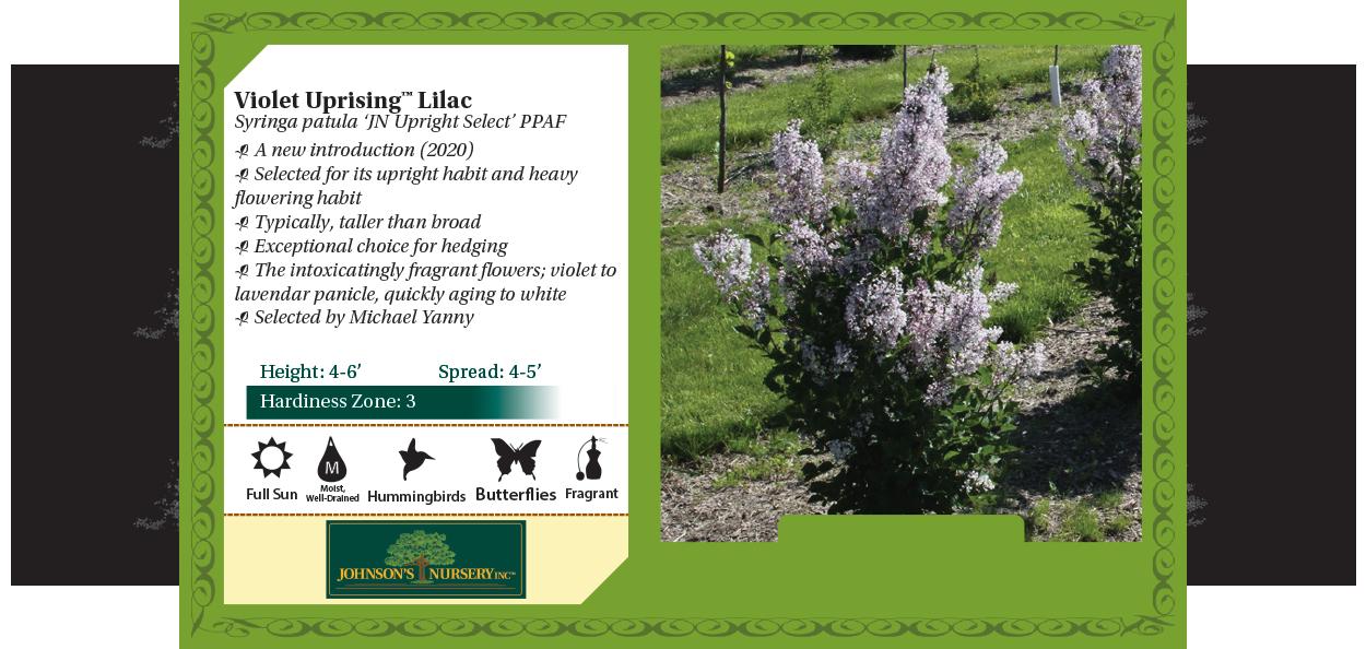 violet uprising lilac syringa patula jn upright select johnson's nursery shrubs wisconsin benchcard