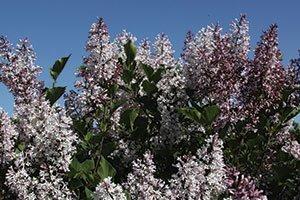 violet uprising lilac syringa patula jn upright select johnson's nursery shrubs wisconsin catalog