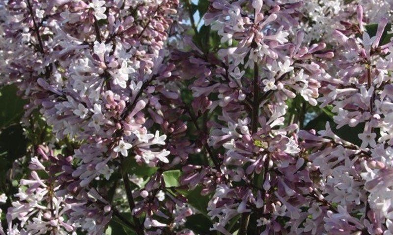 violet uprising lilac syringa patula jn upright select johnson's nursery shrubs wisconsin ftimg