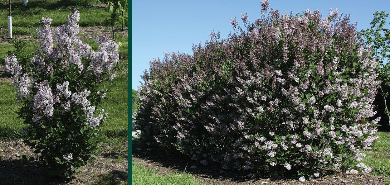 violet uprising lilac syringa patula jn upright select johnson's nursery shrubs wisconsin