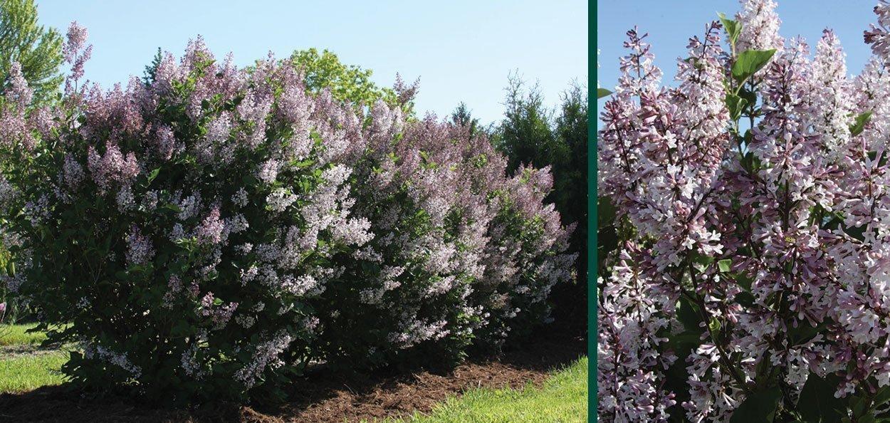 violet uprising lilac syringa patula jn upright select johnson's nursery spring flowering shrubs wisconsin