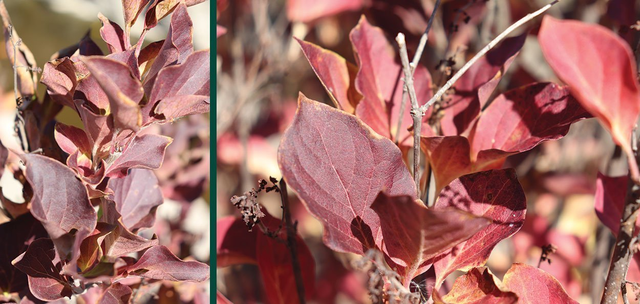 violet uprising lilac syringa patula with purple red fall color