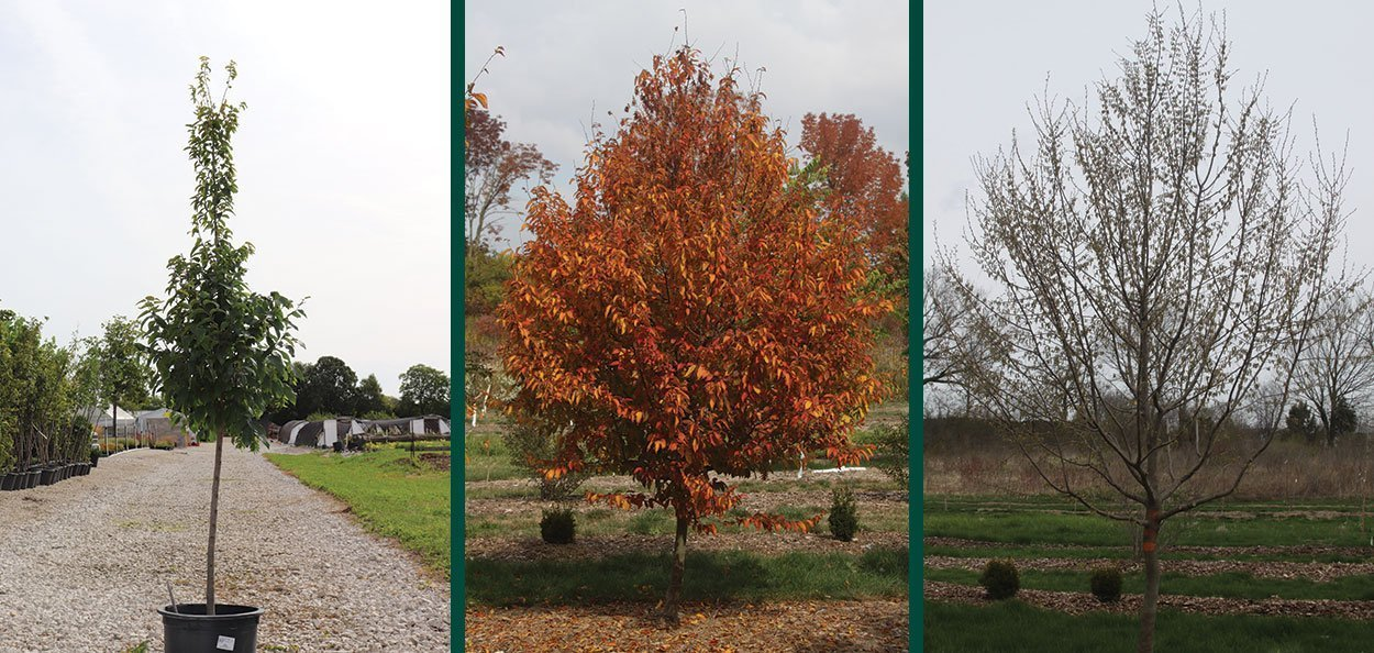 young fire king musclewood carpinus caroliniana at johnson's nursery matures in trial blocks