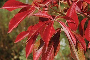 aesculus glabra jn select early glow buckeye catalog