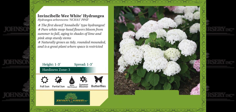Invincibelle Wee White® Hydrangea Hydrangea arborescens 'NCHA5' PPAF benchcard