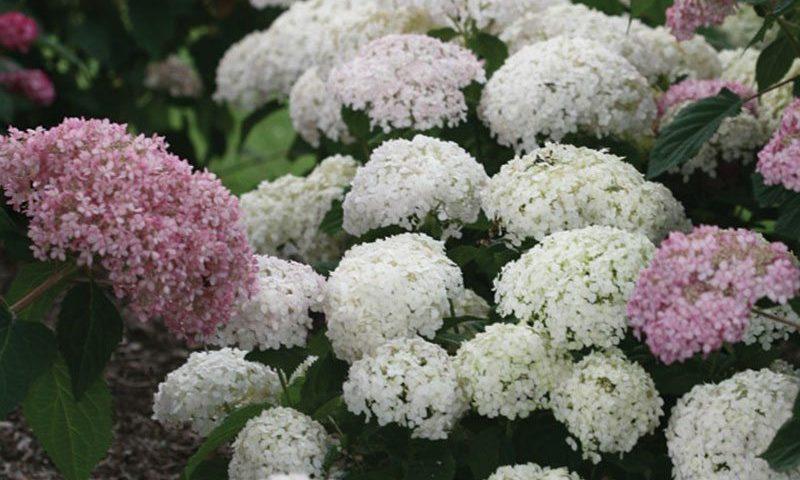 invincibelle wee white hydrangea arborescens ncha5 ftimg