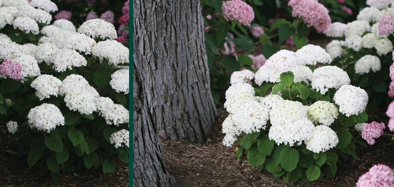 invincibelle wee white hydrangea arborescens ncha5 wisconsin