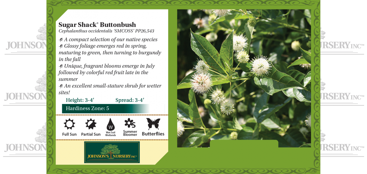 Sugar Shack® Buttonbush Cephalanthus occidentalis 'SMCOSS' PP26,543 benchcard