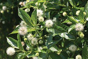 sugar shack buttonbush cephalanthus occidentalis smcoss catalog