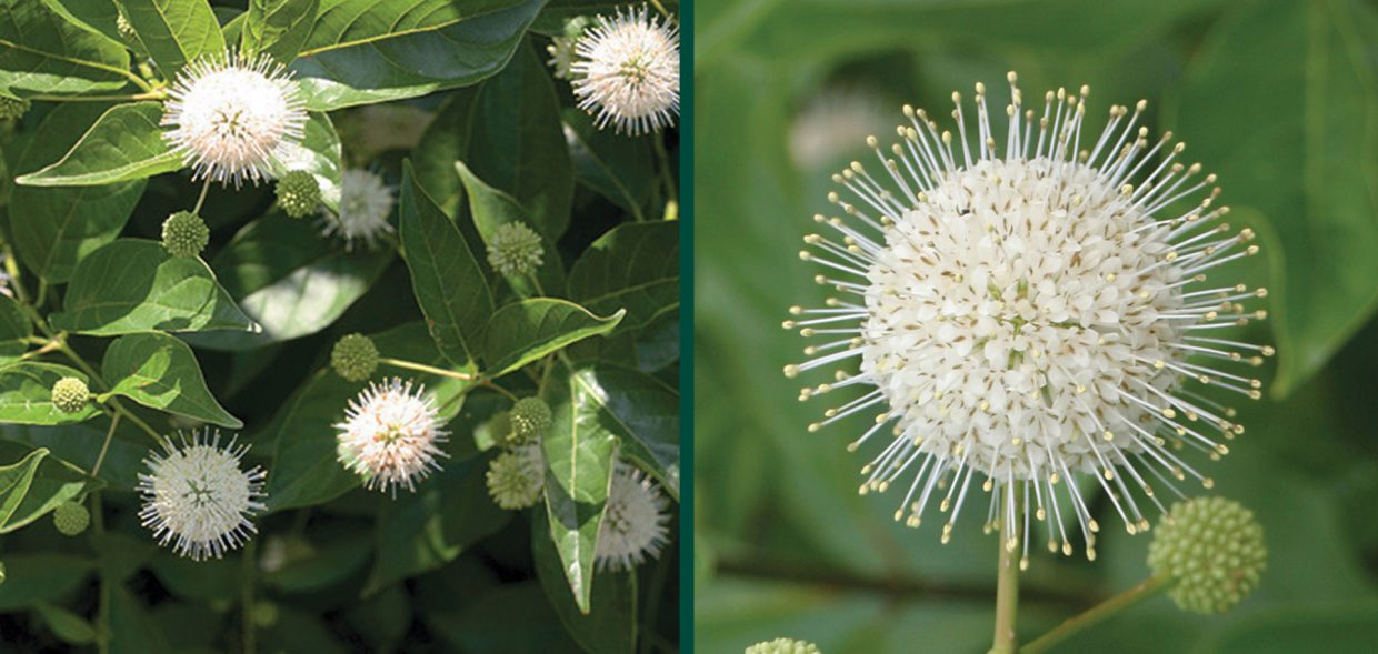 sugar shack buttonbush cephalanthus occidentalis smcoss wisconsin