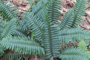 christmas fern polystichum acrostichoides wisconsin native perennial ferns johnson's nursery catalog