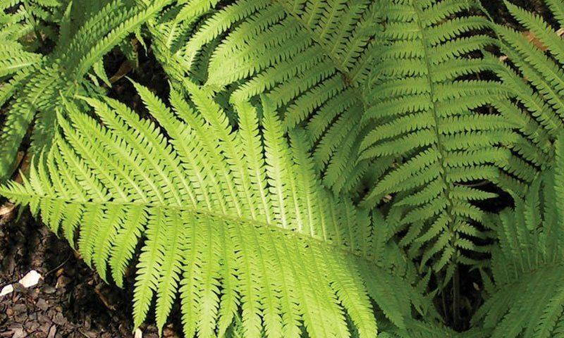 find wisconsin native ferns at johnson's nursery in menomonee falls ftimg