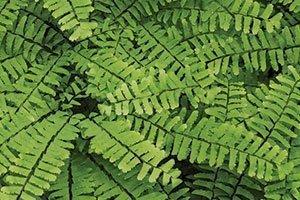 maidenhair fern adiantum pedatum wisconsin native perennial ferns catalog