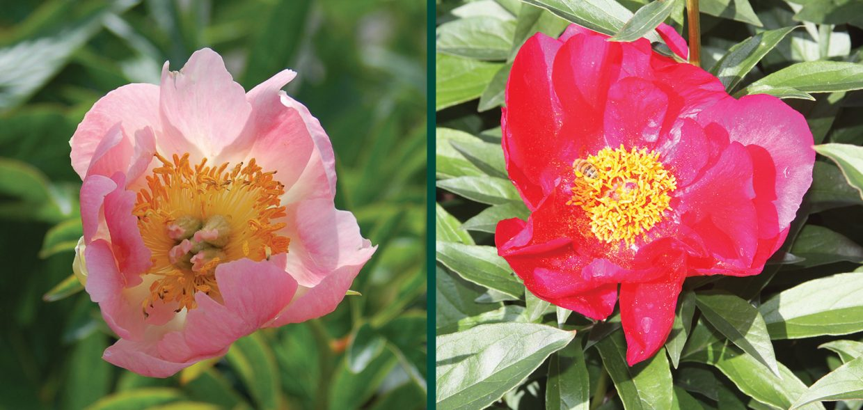 peony revolution herbaceous peonies plant talk michael yanny