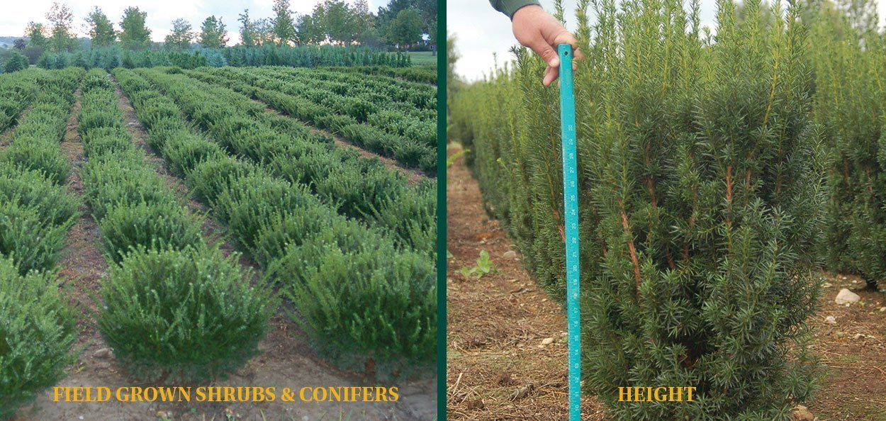 understanding nursery stock sizes field grown shrubs conifers measured by height