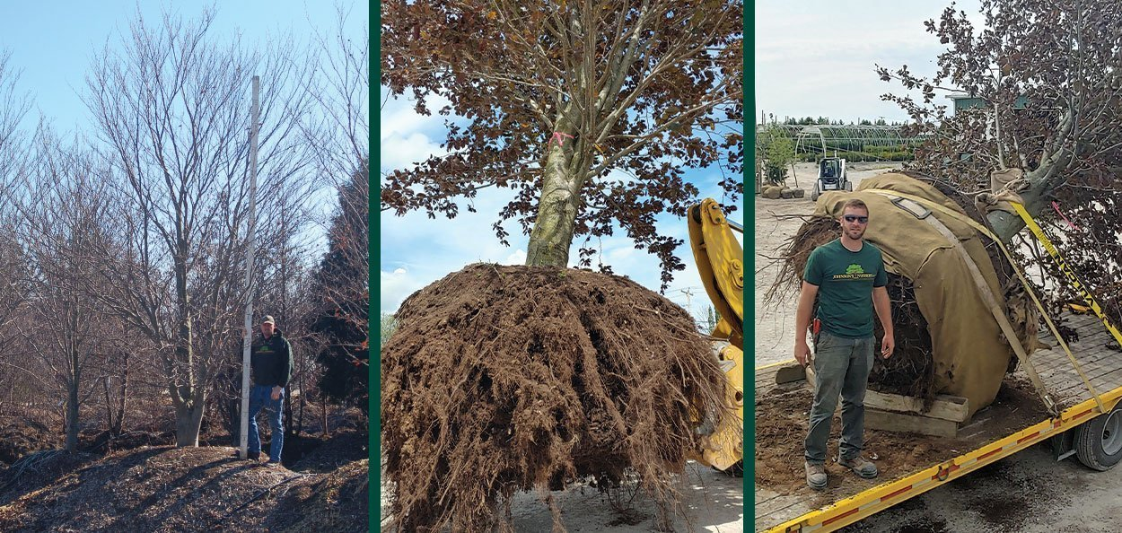 specimen tree large trees big evergreens for sale johnson's nursery menomonee falls wisconsin large beech