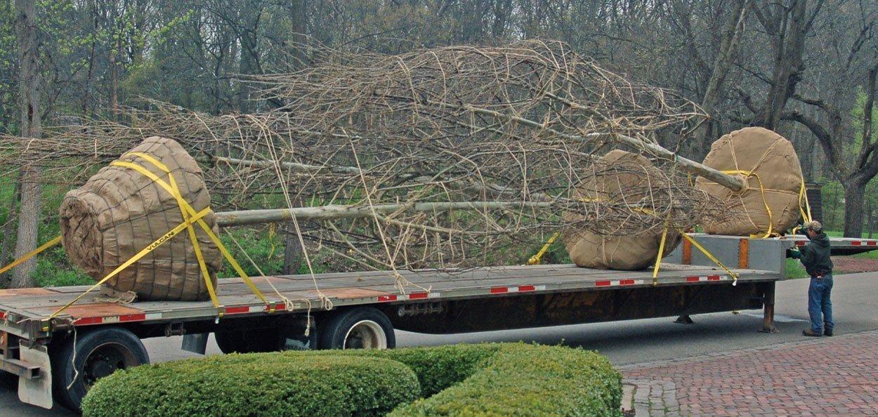specimen tree large trees big evergreens for sale johnson's nursery menomonee falls wisconsin large semi