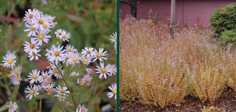 fall-blooming-pollinators-aster-azureus-calamintha-nepeta-montrose-white