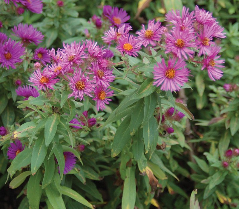 fall blooming pollinators aster dumosus woods pink ftimg