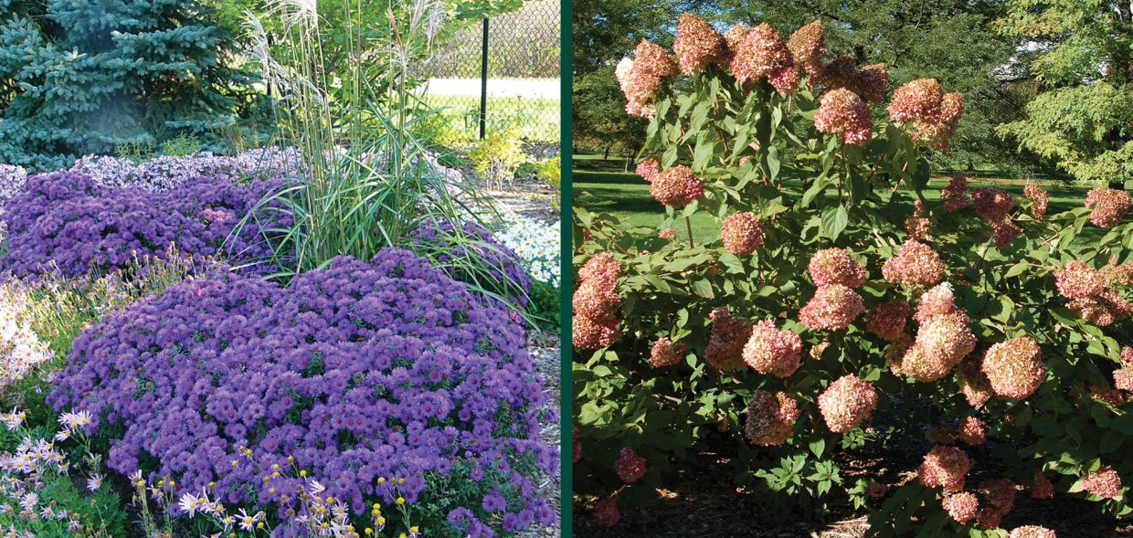 fall-blooming-pollinators-chrysanthemum-limelight-hydrangea