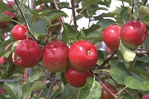 empire apple malus domestica catalog