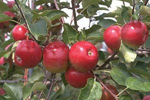 empire apple malus domestica catalog