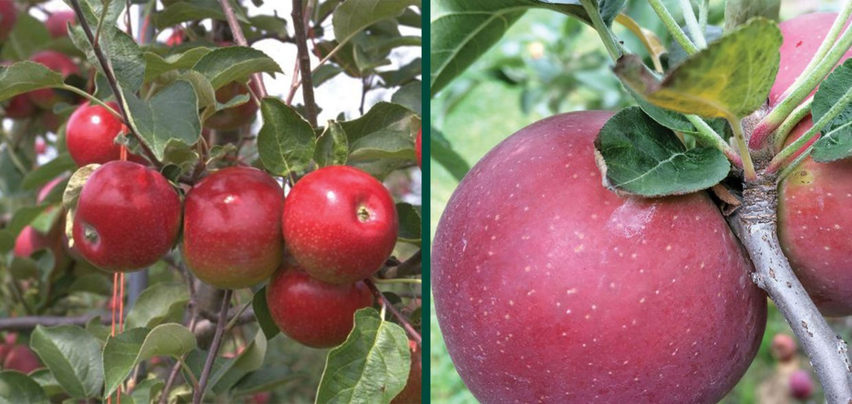 empire apple malus domestica