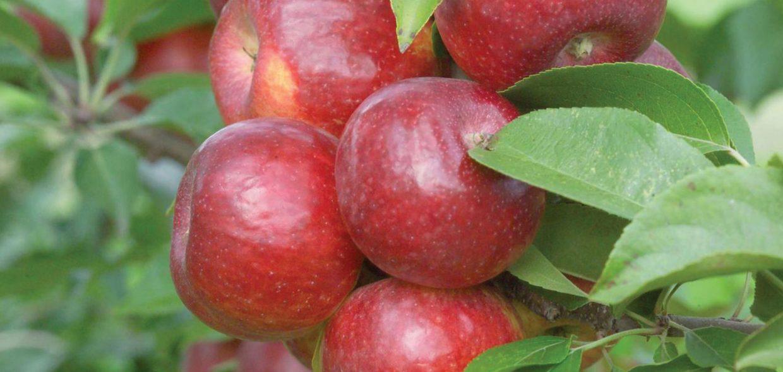haralson apple malus domestica